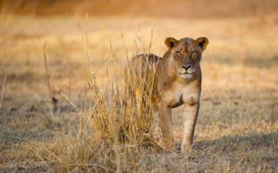 Lion Pride Update