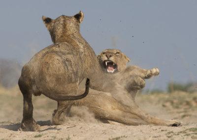 Lion Camp Wildlife
